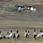 Black-necked Cranes in Phobjikha